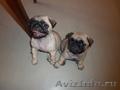 Продам двух щенков мопсов.Девочки,  очень активные,  ласковые,  кушают отличная