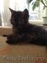 котята-шотландцы - Изображение #2, Объявление #924316
